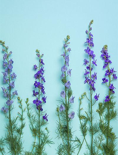 Дельфиниум многолетний цветы