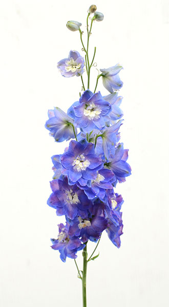 дельфиниум многолетний фиолетовый