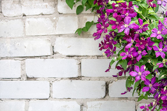 клематис у стены