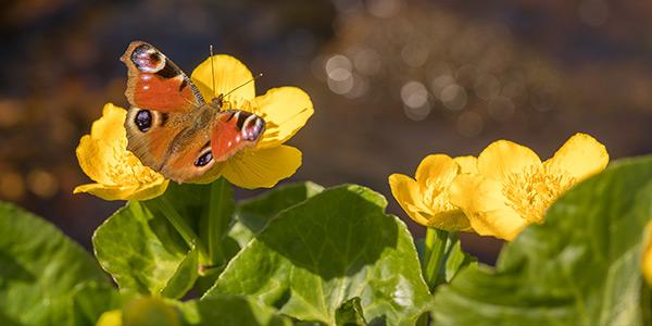 Болотная календула растения для садового пруда
