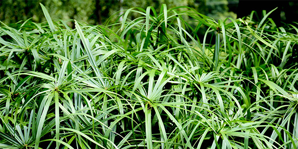 Папирус растения для садового пруда