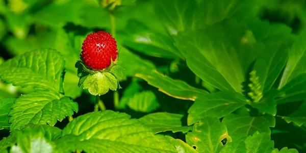 растение земляника садовая